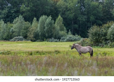 Konik horse standing in a grass land with trees in the background The area is called Lentevreugd in The Netherlands