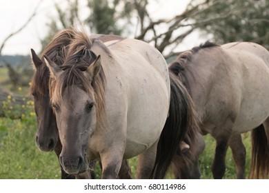 Konik horse walking
