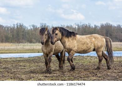 Konik horse  young foal in winter coat in March at Oostvaardersplassen, the netherlands