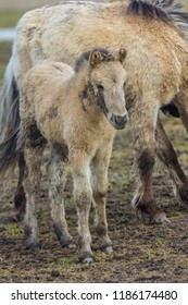 Konik horse  young foal in winter coat in March at Oostvaardersplassen, the netherlands