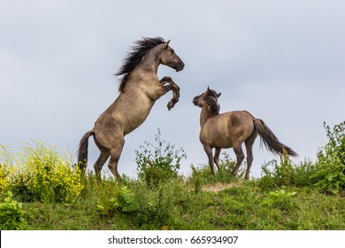 Konik horses fighting in the Oostvaardersplassen, reserve in the Netherlands