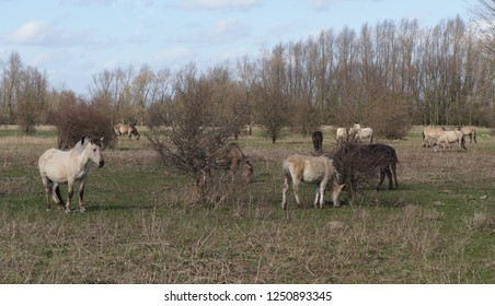 Konik horses on the floodplains of the Nederrijn river in the Netherlands in a nature area called Blauwe Kamer (English: Blue Chamber).