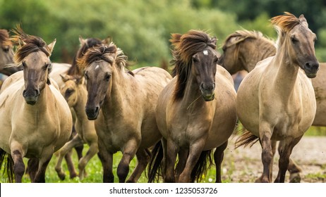 Konik Horses in the Oostvaardersplassen, Netherlands