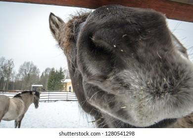 Konik - Polish primitive horse in the winter