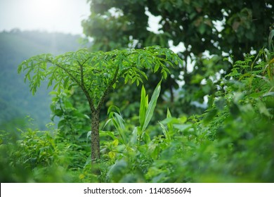 Konjac leaf in the forest.
