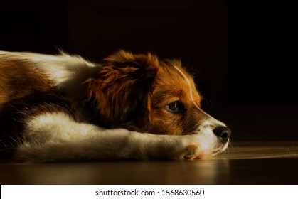 Kooiker dog puppy enjoying the sunlight