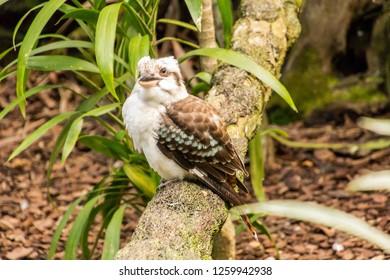 the kookaburra is an australian native bird, known for its rauccous call