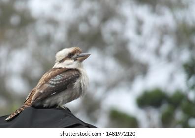 Kookaburra bird in Australia background