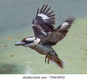 The kookaburra bird from Australia in Flight