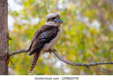Kookaburra bird in West Australia sitting on tree branch