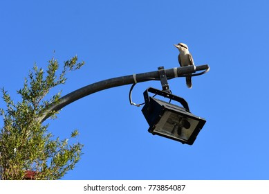 Kookaburra or Laughing Bird on a lamppost in Sydney, Australia