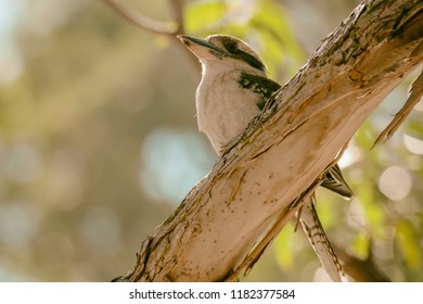 Kookaburra on a branch - Taken at Pearl Beach, Central Coast, NSW, Australia.