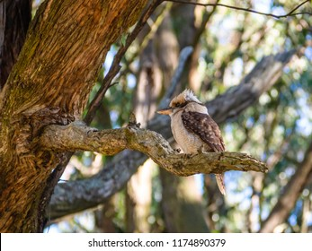 A Kookaburra perches on a tree branch in the Dandenong Ranges, Australia