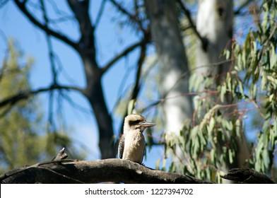 Kookaburra sittin' in the old gum tree... Wilpena Pound, Ikara-Flinders' Ranges National Park, SA, Australia