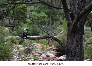 A kookaburra sitting on a dead tree branch in the Australian bush.