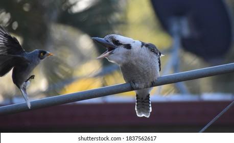 Kookaburra sitting on a pole, squawking at another bird