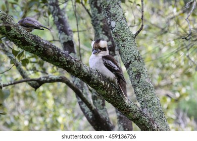 A Kookaburra sitting in a tree, New South Wales, Australia.