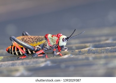 Koppie foam / gaudy grasshopper. Colourful grasshopper / locust photographed in the Blyde River Canyon, South Africa.