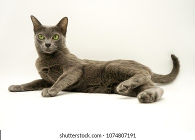 Korat cat lying on white.