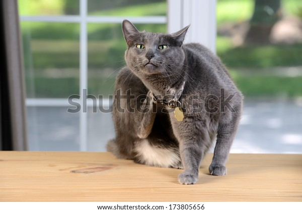 Korat cat scratching behind head sitting on wooden table
