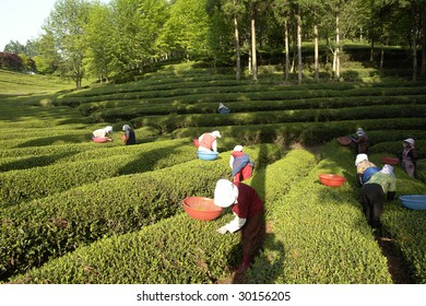 Korea, Poesong, green tea field during spring.