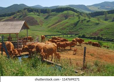 Korean cattle farm landscape