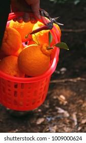 A Korean farmer is cropping ripe and juicy hallabongs (kind of tangerine) in Jeju island (South Korea).