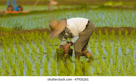 A Korean farmer planting rice.