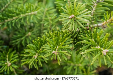 Korean fir , Abies koreana, branch close-up. Evergreen tree with soft needles. High quality photo