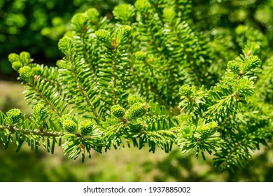 Korean fir Abies koreana close-up of bright young green needles on the branch on blurred green background in spring garden. Selective focus. Nature concept for design with place for your text