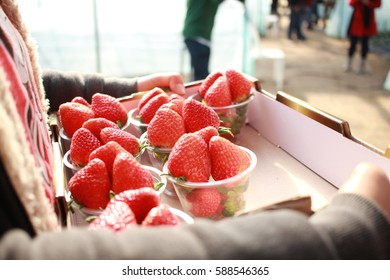Korean Fresh strawberry harvest from farm