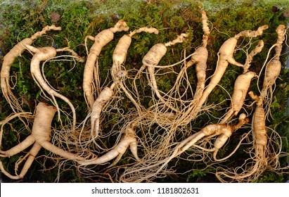 Korean ginseng root. Ginseng has been used in traditional medicine.