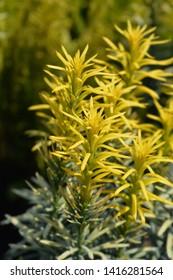 Korean Gold Plum yew - Latin name - Cephalotaxus harringtonia Korean Gold