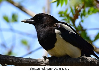 Korean magpie in Seoul forest