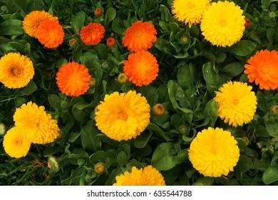 Korean Marigold