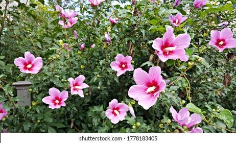 Korean national flower rose of sharon