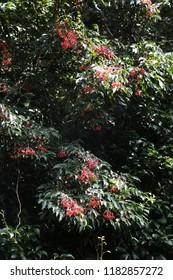 Korean sweetheart tree / Euscaphis japonica (Seeds)