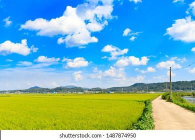 Korean traditional rice farming. Korean rice farming scenery. Rice field and the sky in Ganghwa-gun, Incheon, Republic of Korea. Korean natural landscape.