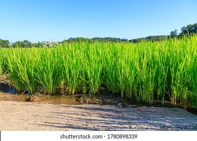 Korean traditional rice farming. Korean rice farming scenery. Korean rice paddies.Rice field and the sky in Ganghwa-do, South Korea.