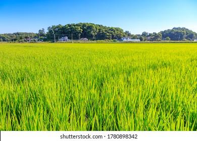 Korean traditional rice farming. Korean rice farming scenery. Korean rice paddies. Rice field and the sky in Ganghwa-do, South Korea.