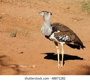 Kori Bustard, African, the heaviest bird capable of flight.  Full body shot.