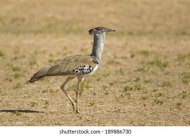 Kori Bustard (Ardeotis kori) against a blurred natural background, Kalahari Desert, Southern Africa