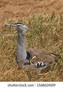 Kori Bustard (Ardeotis kori) is arguably the largest flying bird native to Africa