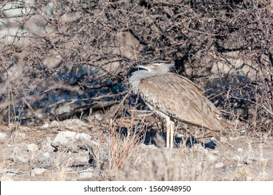 The Kori Bustard -Ardeotis kori- is considered to be the largest flying bird of Africa. Here it is seen hiding behind the bushes of Etosha National Park, Namibia.