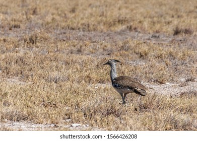 The Kori Bustard -Ardeotis kori- is considered to be the largest flying bird of Africa. Here it is seen walking on the plains of Etosha National Park, Namibia.