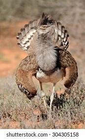Kori bustard (Ardeotis kori) displaying, Kalahari desert, South Africa