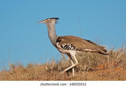 Kori Bustard (Ardeotis kori) Kgalagadi Transfrontier Park, South Africa