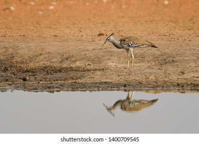 Kori Bustard - Ardeotis kori, large ground bird from African savannas, Etosha National Park, Namibia.