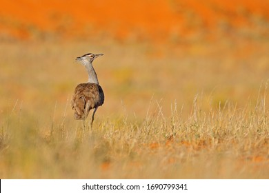 Kori bustard, Ardeotis kori, largest flying bird native to Africa. Bird in the grass, evening light, Kgalagadi desert, Botswana. Wildlife scene from African nature. Red send dune in Kgalagadi.