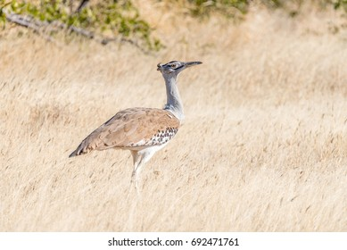 A Kori Bustard, Ardeotis kori, in Northern Namibia. It is the biggest bird capable of flying